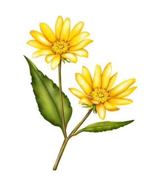 Jerusalem artichoke flower drawing