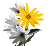 Jerusalem artichoke is a valuable medicinal plant for intestinal health