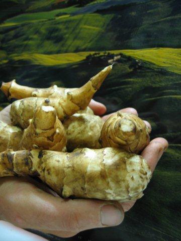 Jerusalem artichoke a special plant